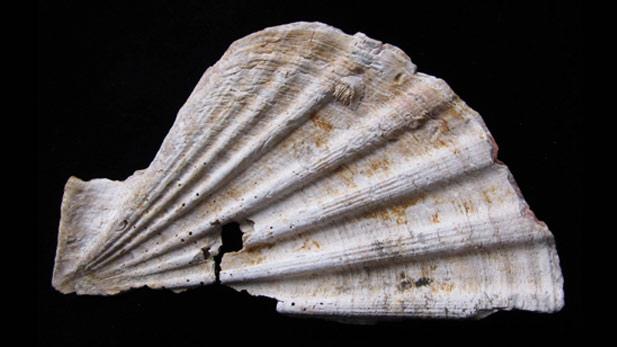 nova_neanderthall_shell_spot