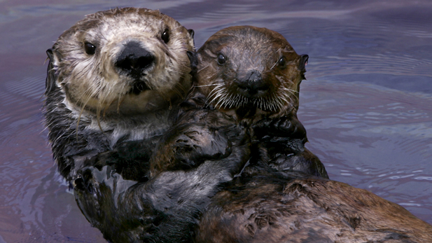 Toola the southern sea otter (Enhydra lutris nereis), acting as a surrogate mom to orphaned SORAC pup #327. Monterey, CA.