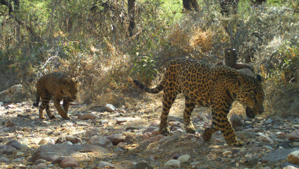 jaguar project in sonora working hard to protect these felines - azpm