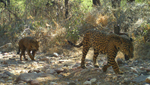 These endangered jaguars are part of a breeding population located near southern arizona .