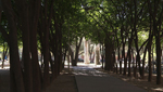 These olive trees at the U of A provide shade and beauty to the campus and its visitors.