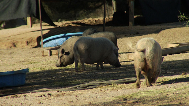 Feeding time for the pigs at Ironwood Pig Sanctuary.