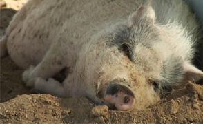 Pig Shelter Large
