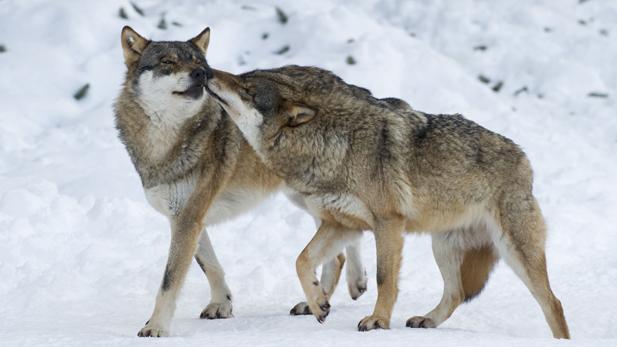 nature_lovd_animal_wolf_spot