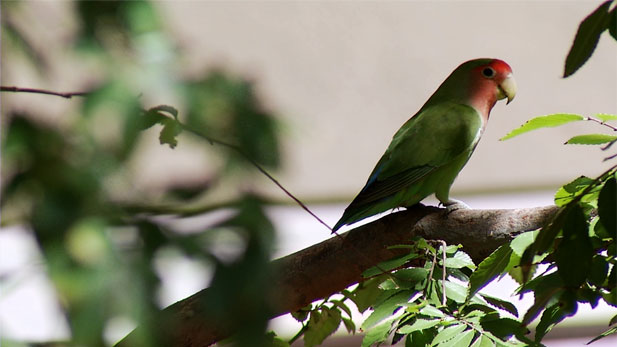 The rosy-faced lovebird has established a sizable population in the Phoenix area that is attracting the attention of residents and experts.