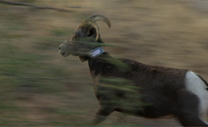 Desert bighorn runs large