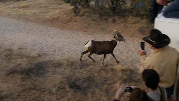 desert bighorn spot