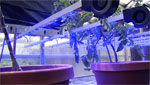 Plants are being grown under different colored UV lights to test their sensitivity to this synthetic energy source.