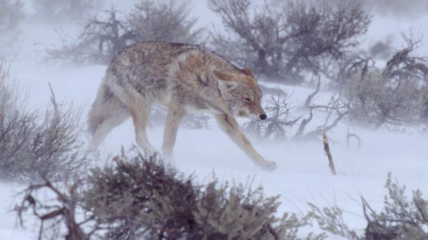 NATURE: Christmas in Yellowstone - AZPM