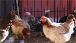 Tucson has a small, growing community of people who keep chickens and sell eggs, from backyard coops to schoolyard flocks that help children learn.