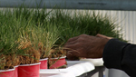 Patches of buffalo grass are being grown at the University of Arizona's School of Plant Sciences.
