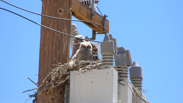 An owl nest is spotted on top of a highly electrified power line.