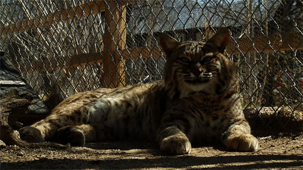 A rescued bobcat takes a rest at the Tucson Wildlife Center.