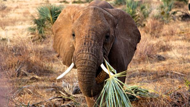 A young elephant snacks on a doum palm frond in Samburu National Reserve, Kenya.