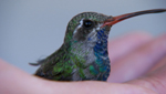 A close up of a hummingbird as researchers study and observe its behavior.