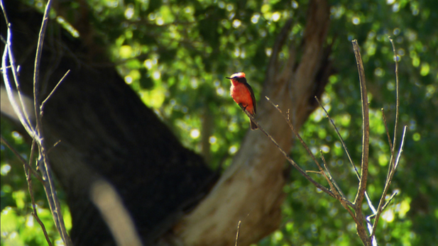 A bright red bird sits perched on a tree branch.