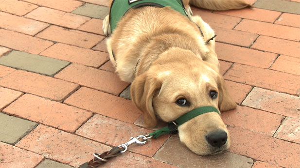 Bishop is a 7-month old trainee for Guide Dogs for the Blind.