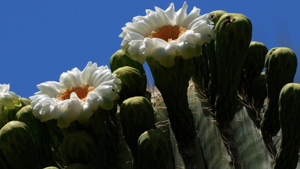 Saguaro blossoms spotlight