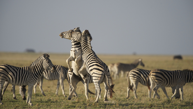 nature_zebra_ exodus_fight_spot