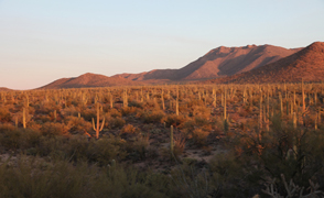 A cactus forest at the Tucson Mountain Unit of Saguaro National Park
