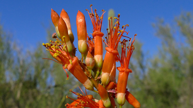 A blooming ocotillo sits in the Sabino Canyon Conservation area, one of many beautiful wildflowers native to the region.