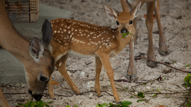 private_life_deer_fawn_spot