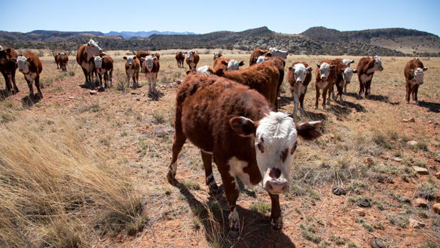 Jim Riggs breeds Polled Hereford cows, which can be identified by their red coats and lack of horns. In 2003, he sold of 80 percent of the herd to cope with the drought.
