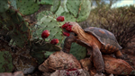 A desert tortoise snacks on a prickly pear fruit. somewhere the Sonoran Desert.
