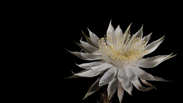 The elusive Queen of the Night flower is in full bloom.