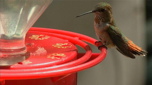 Hummingbird at feeder spot