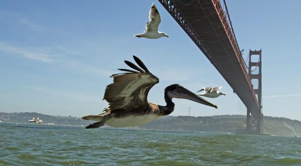 earthflight_pelicans_sfo_spot