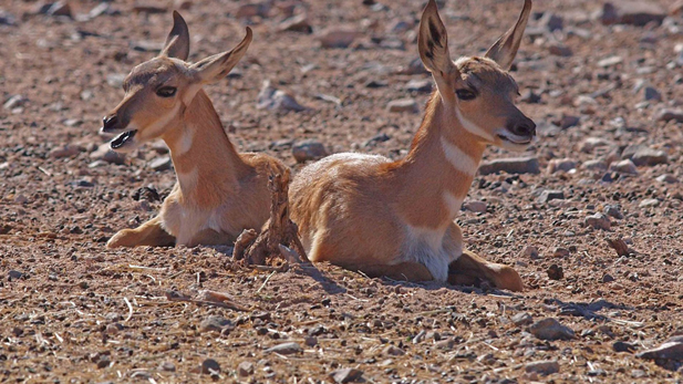 Sonoran Pronghorn SPOT