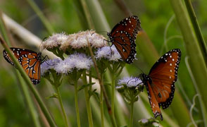 Native butterflies large