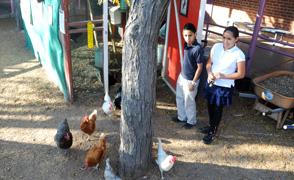 Manzo_Chickens_294x180