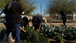 High school students working in a community garden.