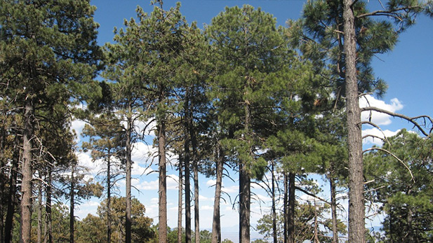 Ponderosa Pine SPOT