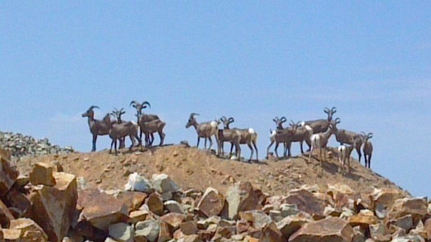 Bighorn sheep in the Silverbell area.