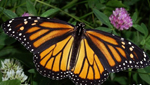 Southern Arizona is home to countless species of butterflies, including thins Monarch Butterfly.