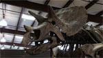 Triceratops skeleton on display.