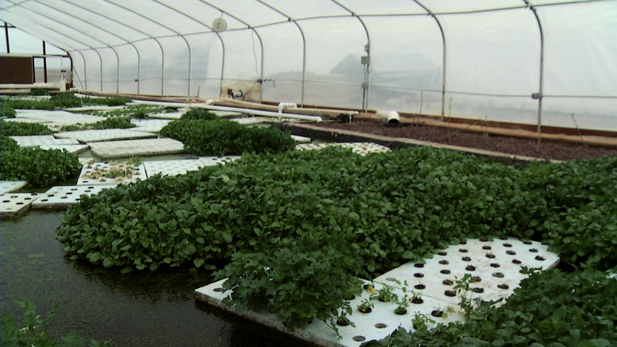 This is one of the many aquaponic set ups at Tucson AquaPonics Farm.