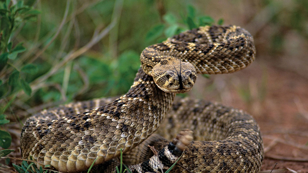 This is just one of the many types of rattlesnakes in the desert wilderness of Arizona.