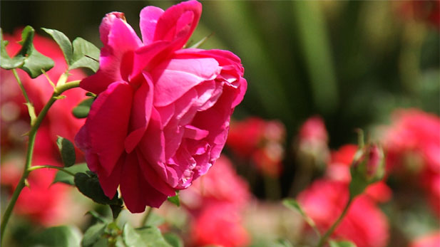 Pam Henderson and Gary Carruthers, members of the Rose Society of Tucson, discuss what it takes to grow roses in the Sonoran Desert.