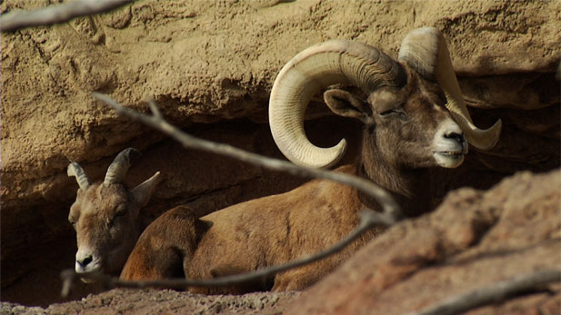 Bighorn sheep in Santa Catalina Mountains.