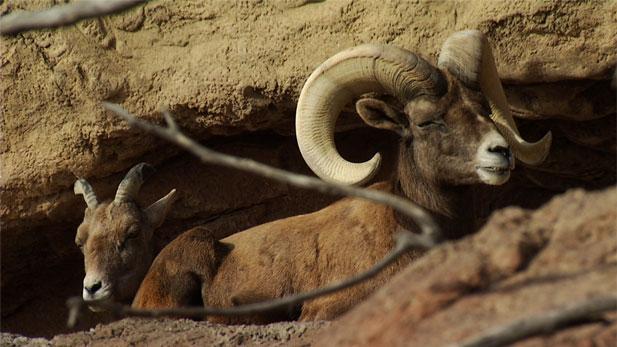 Bighorn Sheep Spot