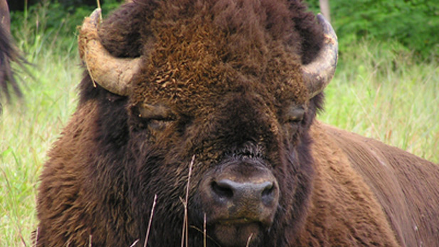 The bison like to wallow or roll around in the dirt, but the 2,000-pound animal leaves small craters. And far from hunters, the herd in the Grand Canyon has tripled in size to about 350 animals.