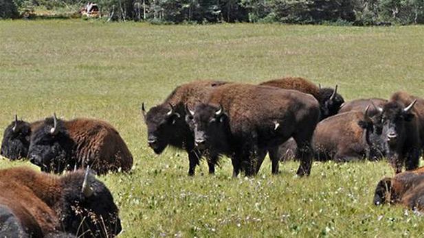 bison spot