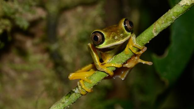 nature_frogs_lemur_leaf_spot
