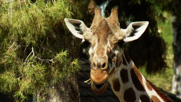 MW - Giraffe Reid Zoo SPOT