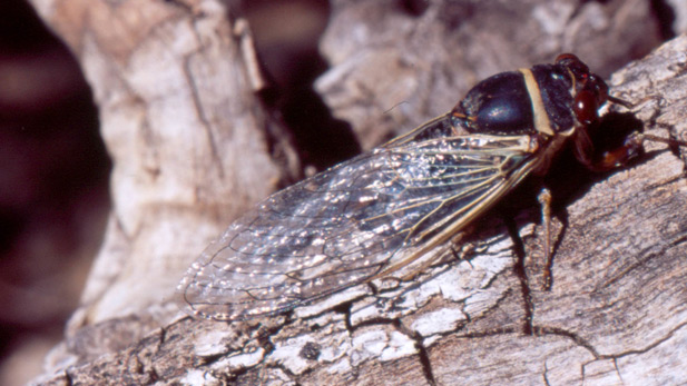 Cicada spot