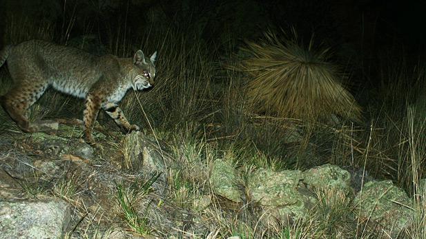 Bobcat SPOT